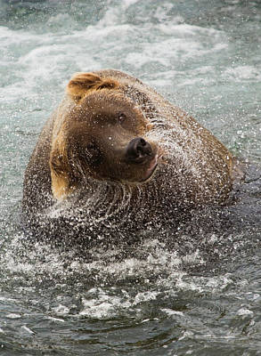 Photograph - A Brown Bear Shakes Off Excess Water by Mint Images - Art Wolfe