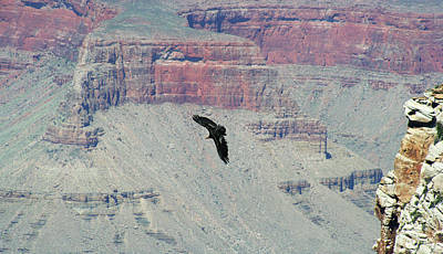 Condor Wall Art - Photograph - A California Condor Soars Among The Cliffs Of The Grand Canyon by Derrick Neill