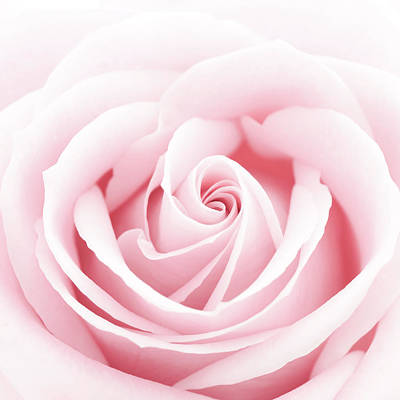 Photograph - A Close-up Of A Delicate Pink Rose by Cillay
