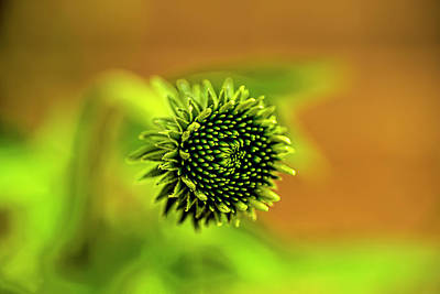 Photograph - A Cone Flower Bud by Kay Brewer
