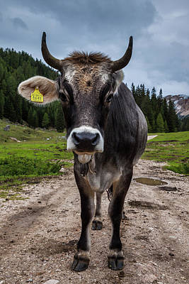 Photograph - A Cow In The Dolomites, Italy by Tom Nevesely