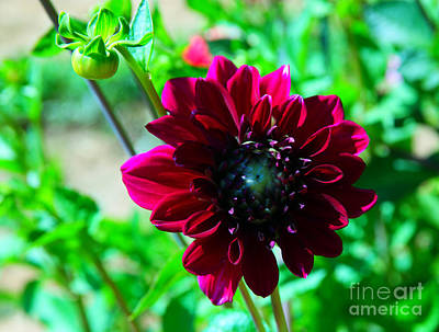 Royalty-Free and Rights-Managed Images - A dahlia in full bloom by Jeff Swan