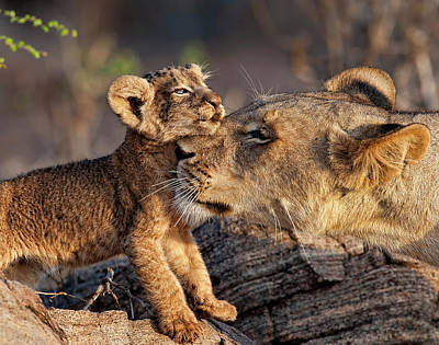 Animal Family Photograph - A Female Lion Panthera Leo And Her Cub by Annie Katz