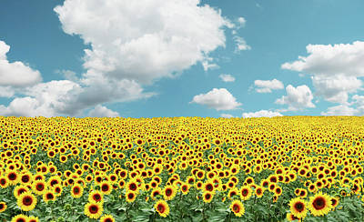 Photograph - A Field Full Of Tons Of Sunflowers by Zelg
