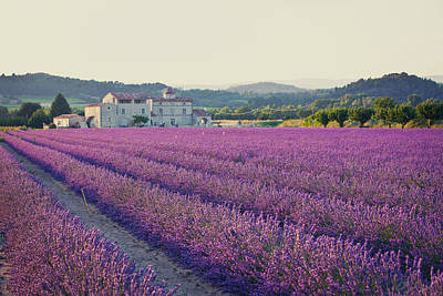 Photograph - A Field Of Lavender Plants In Rows by Pawel.gaul