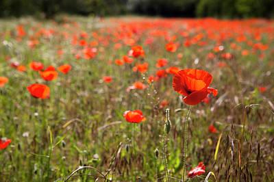Field Poppy Art For Sale