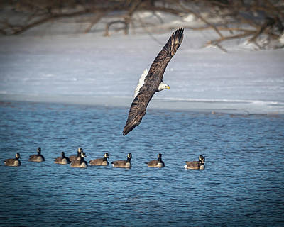 Photograph - A Gaggle by Laura Hedien