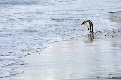 Photograph - A King Penguin, Aptenodytes by Mint Images - David Schultz