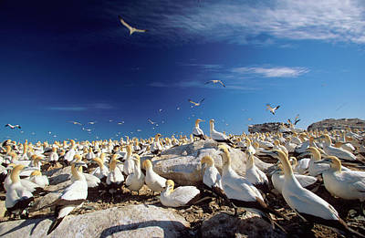 Animal Family Photograph - A Large Colony Of Cape Gannets Roosting by Martin Harvey
