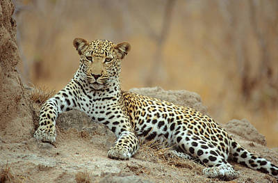 Lying Down Photograph - A Leopard Lying On A Rock by Richard Du Toit
