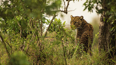Photograph - A leopard staring at tourists by Jwngshar Narzary