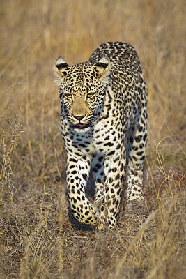 Walking Photograph - A Leopard Walking Through Grass by Sean Russell