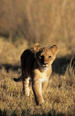 On The Move Photograph - A Lion Cub Advancing Towards The Camera by Daryl Balfour