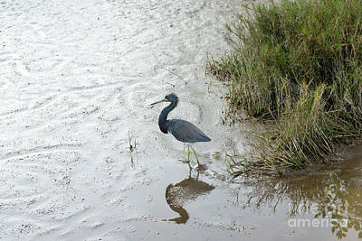 Photograph - A Little Blue Heron Walks Across A Mud Flat At Ding Darling Nati by William Kuta