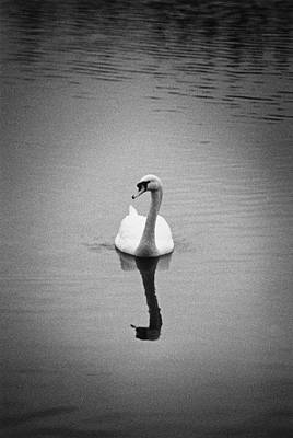 Photograph - A Lone Swan by Gunilla Lundstrom