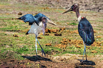 Photograph - A Maribou Stork Hissy Fit by Kay Brewer