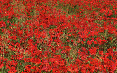 Painting - A Meadow Full Of Red Flowers - 02 by Andrea Mazzocchetti