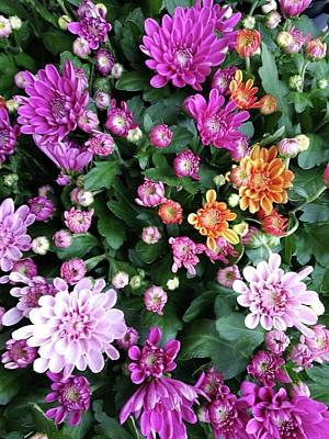 Photograph - A Mix Of Mums by Rosita Larsson