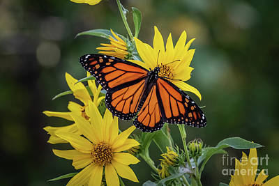 Photograph - A Monarch Butterfly Perched On Sunflowers by Richard Smith