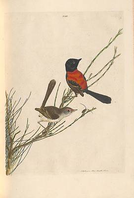 Giuseppe Cristiano Royalty Free Images - A natural history of the birds of New South Wales by John William Lewin c 1822 - 40 Royalty-Free Image by John William Lewin c