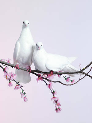 Photograph - A Pair Of Doves Sat On A Branch With by Walker And Walker