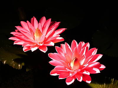 Photograph - A Pair Of Pink Water Lilies by Richard Reeve
