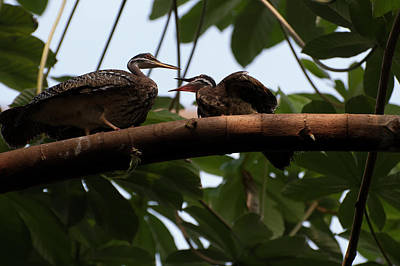 Photograph - A Pair Of Sunbitterns Perched On A Branch by Chris Flees