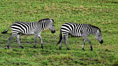 Photograph - A Pair Of Zebras by Kay Brewer