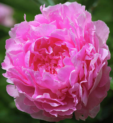 Royalty-Free and Rights-Managed Images - A Perfect Pink Peony in a Garden, Genus Paeonia by Derrick Neill