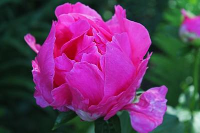 Photograph - A Pink Peony by Michiale Schneider