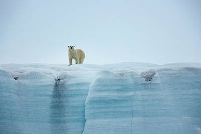 Photograph - A Polar Bear On The Ice In Svalbard by Mint Images - Art Wolfe