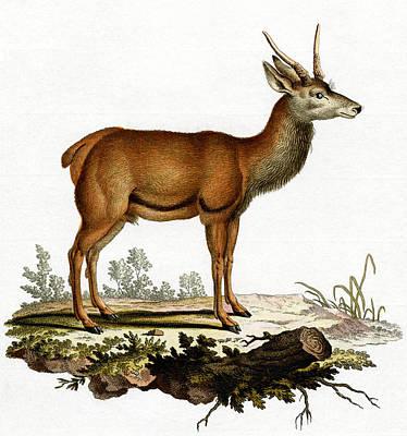 Painting - A Red Deer Coloured Engraving by German School