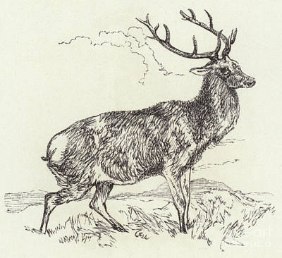 Drawing - A Red Deer  Engraved by English School