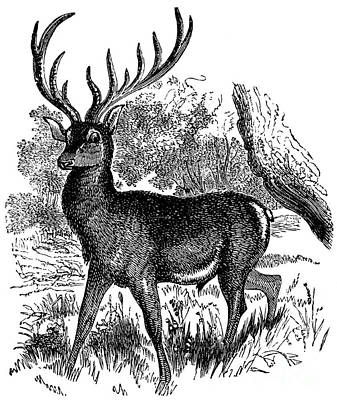 Drawing - a Red Deer in a Landscape by American School