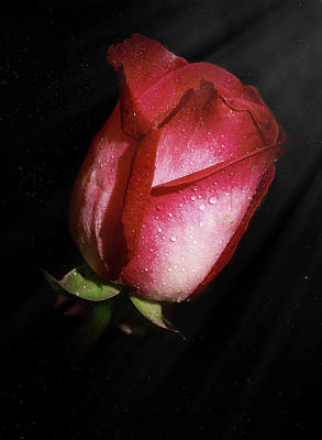Photograph - A Rose By Any Other Name by Elaine Malott