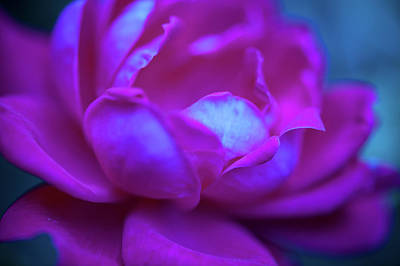 Photograph - A Rose In The Dark by Mark Duehmig