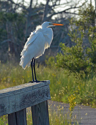 Photograph - A Ruffled Snowy Egret by Bruce Gourley