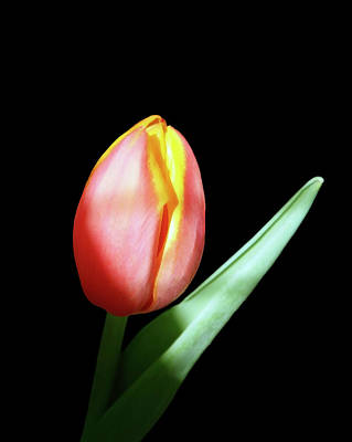 Photograph - A Single Yellow Red Tulip by Johanna Hurmerinta