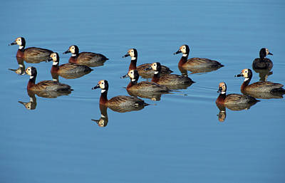 Animal Family Photograph - A Small Flock Of Whitefaced Ducks by Robert C Nunnington