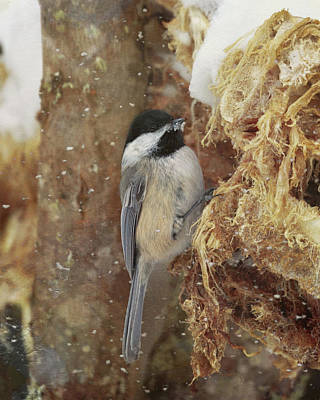 Photograph - A Snowy Chickadee by Susan Rissi Tregoning
