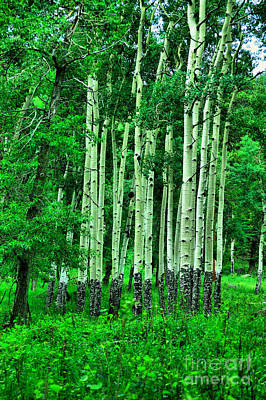Royalty-Free and Rights-Managed Images - A stand of aspens by Jeff Swan