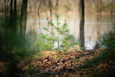 Photograph - A Tiny Pine by Ryan Pelletier