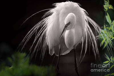 A Touch Of Class - Great Egret With Plumage Art Print