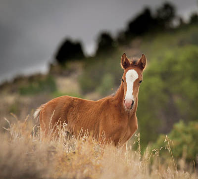 Photograph - A White Blaze Wild Mustang Foal by Waterdancer