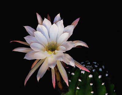 Photograph - A White Echinopsis Flower by Saija Lehtonen