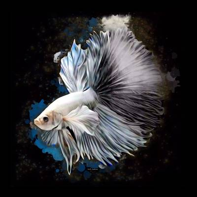 Betta Fish Rights Managed Images and Betta Fish Stock Photos for Sale