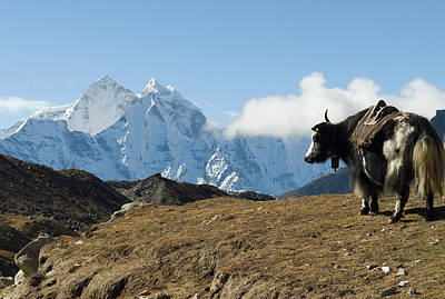 Yak Wall Art - Photograph - A Yak On The Trail To Mount Everest by Shanna Baker