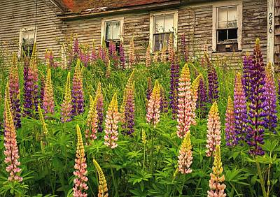 Photograph - Abandoned Maine Farm Lupines by John Vose