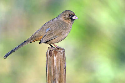 Photograph - Abert's Towhee 0734-010819 by Tam Ryan