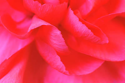 Photograph - Abstract Macro Of A Dark Pink Carnation by Jpecha